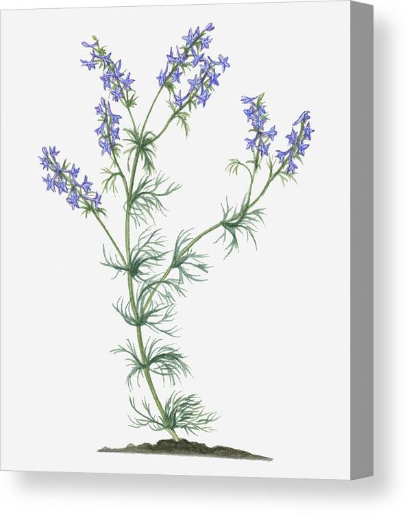 Illustration Of Consolida Ajacis Syn Consolida Ambigua Larkspur Bearing Blue Flower Spikes On Long Stems With Green Leaves Canvas Print Canvas Art By Valerie Price