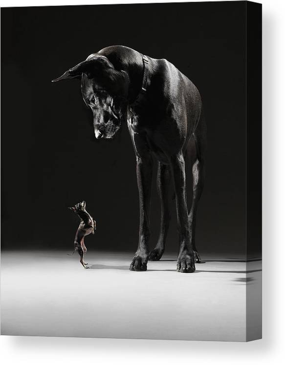 Large Canvas Print featuring the photograph Great Dane And Chihuahua Staring At One by Lauren Burke