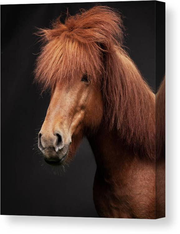 Horse Canvas Print featuring the photograph Portrait Of Horse by Arctic-images