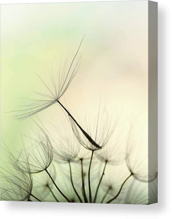 Single Flower Canvas Print featuring the photograph Dandelion Seed by Jasmina007