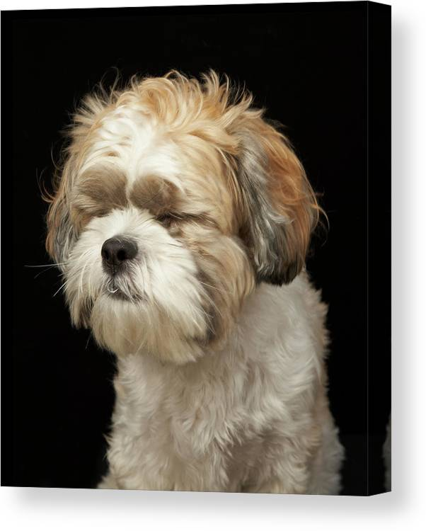 Pets Canvas Print featuring the photograph Brown And White Shih Tzu With Eyes by M Photo