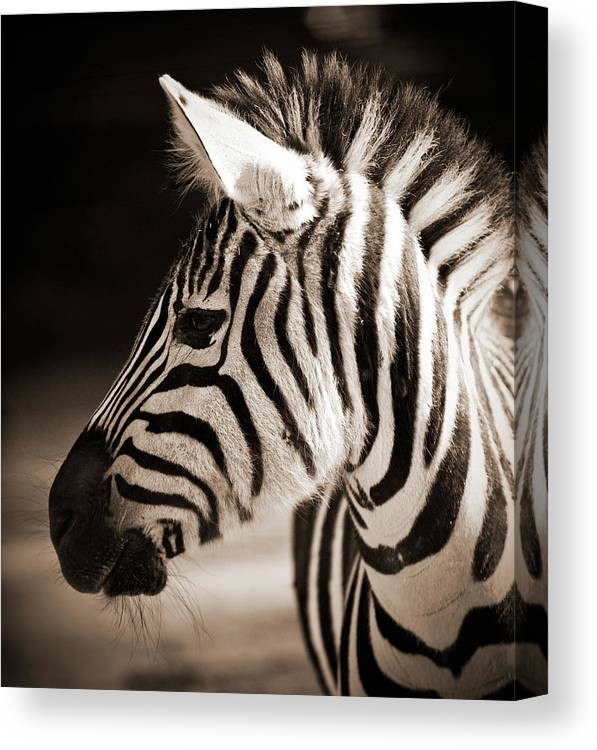 Black Color Canvas Print featuring the photograph Portrait Of A Young Zebra by Cruphoto