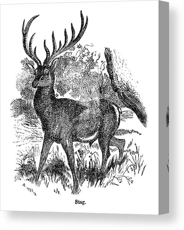Engraving Canvas Print featuring the digital art Red Deer Stag Engraving by Nnehring