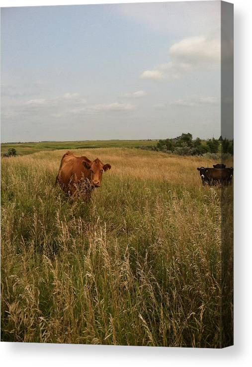 Limited Time Promotion: Brown Cow Stretched Canvas Print