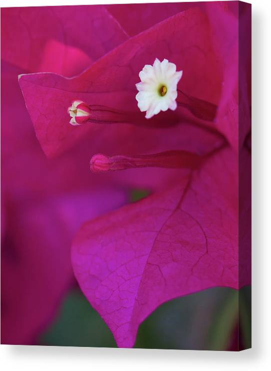 Limited Time Promotion: Bougainvillea Close-up Stretched Canvas Print