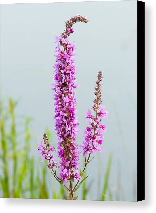 08031461630 Canvas Print featuring the photograph Fireweed In Mist by Mark Little