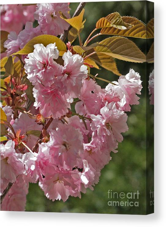 Canvas Print featuring the photograph Bright Pink Apple Tree Flowers by Kenny Bosak