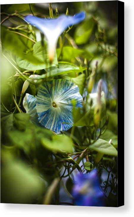 Morning Glory Canvas Print featuring the photograph Goodmorning Glory by Robert Clifford