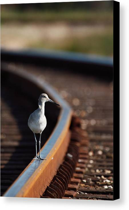 Willet Canvas Print featuring the photograph Railroaded Willet by Andrew McInnes
