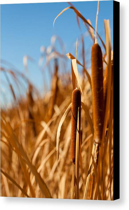 California Canvas Print featuring the photograph Cat Tails by Peter Tellone