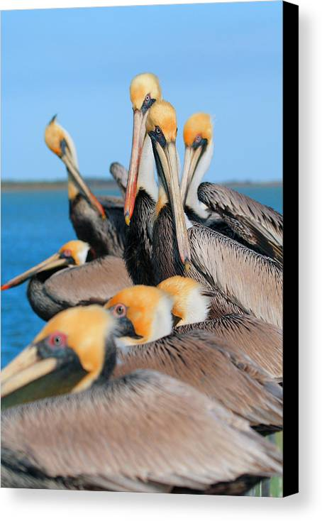 Brown Pelican Canvas Print featuring the photograph Pier Party by Andrew McInnes