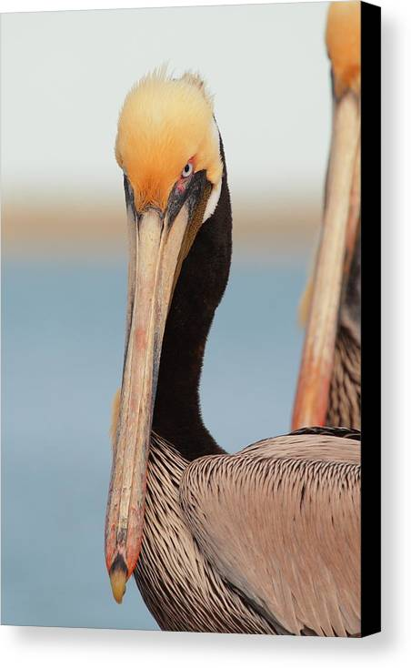 Brown Pelican Canvas Print featuring the photograph Yes I Am Pretty by Andrew McInnes