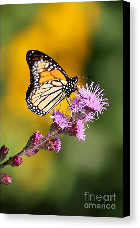 Butterfly Canvas Print featuring the photograph Living Color by Lindsay Felty