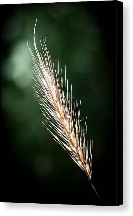 Funks Grove Canvas Print featuring the photograph Wheat Grass by Jim Finch