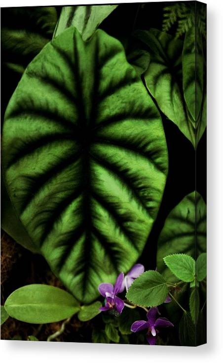 Green Leaf Canvas Print featuring the photograph Elephant Ear by Alfredo Martinez