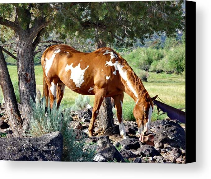 Pinto Pony Canvas Print featuring the photograph Pinto In The Pines by Gerry Childs