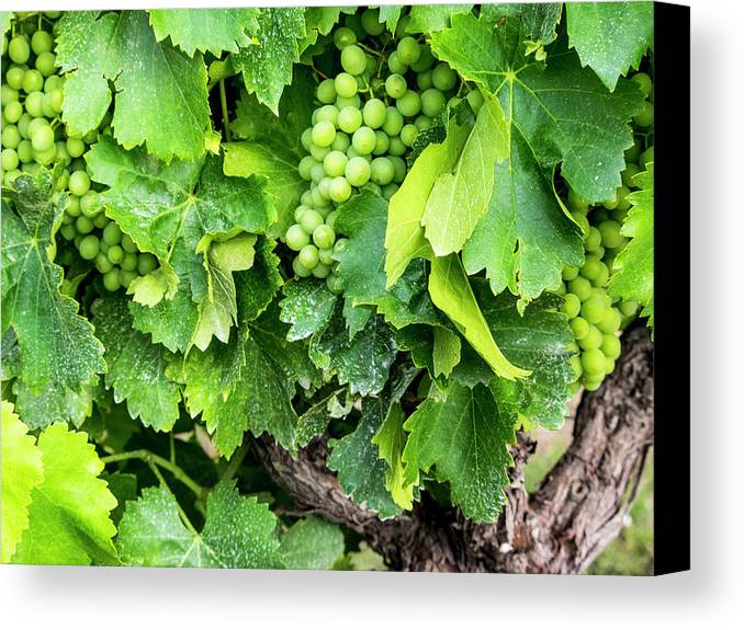 Danita Delimont Canvas Print featuring the photograph France, Provence, French Vineyard by Terry Eggers