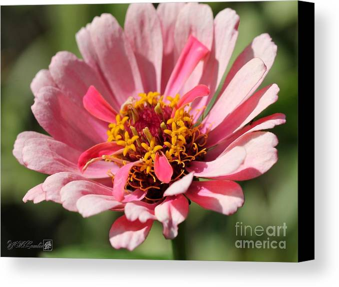 Mccombie Canvas Print featuring the photograph Zinnia From The Whirlygig Mix by J McCombie