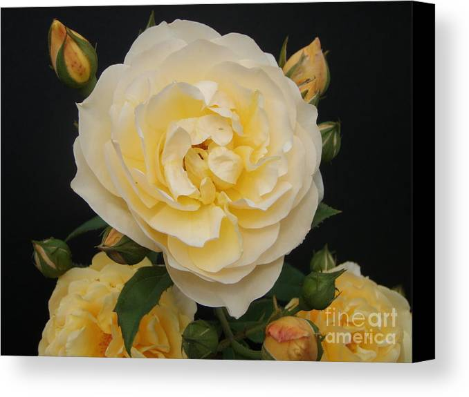Rose Canvas Print featuring the photograph Beauty by Nona Kumah