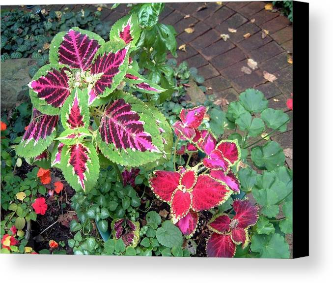 Mary Ogden Armstrong Canvas Print featuring the photograph Coleus Excitement by Mary Armstrong