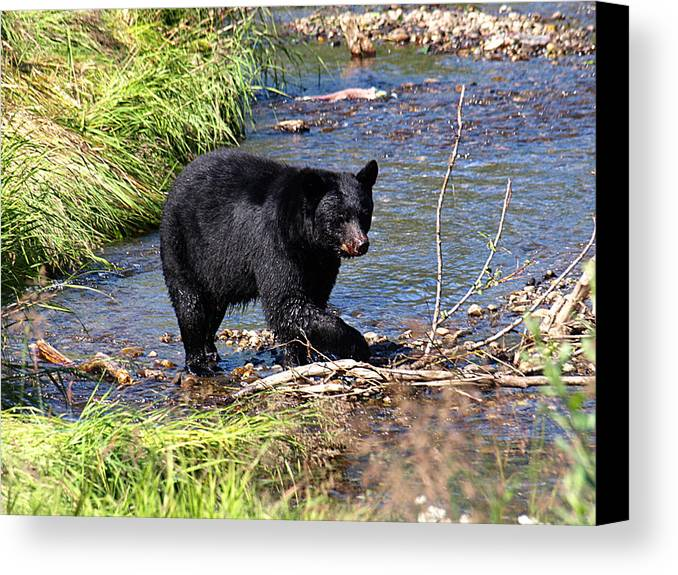 Bear Canvas Print featuring the photograph Alaskan Black Bear Hunting In A River by Jessica Foster