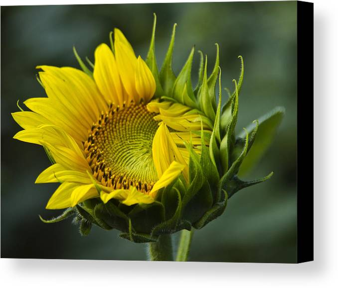 Sunflower Canvas Print featuring the photograph Almost Open by Sharon M Connolly