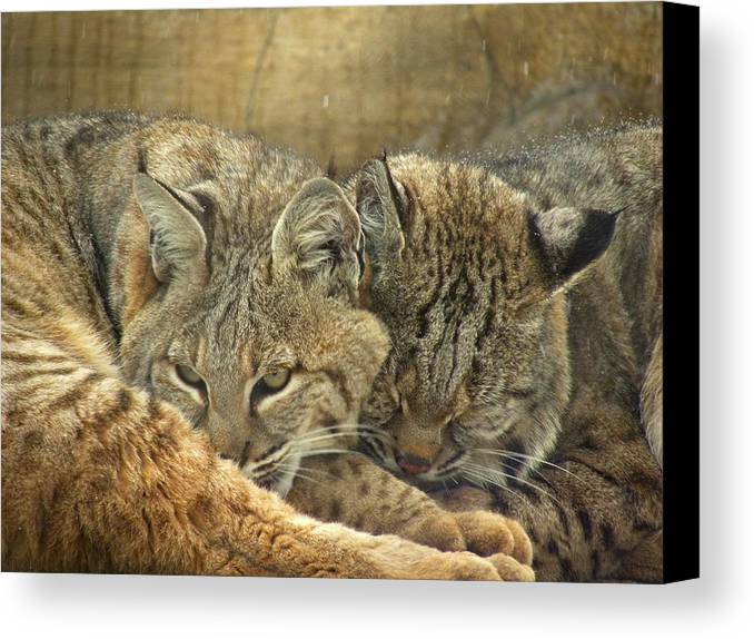 Bobcats Canvas Print featuring the photograph Always Watching by Teresa Schomig