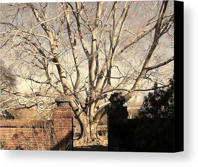 Tree Canvas Print featuring the photograph American Beech Tree - Dumbarton Oaks by Julie Grandfield
