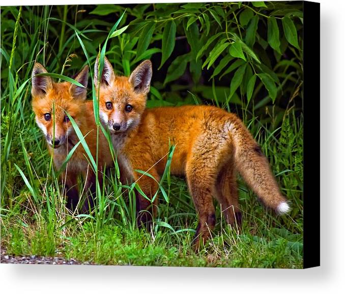 Fox Canvas Print featuring the photograph Babes In The Woods by Steve Harrington