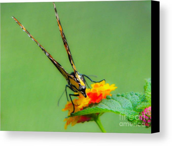 Butterfly Canvas Print featuring the photograph Backside Of Beauty by C Ray Roth