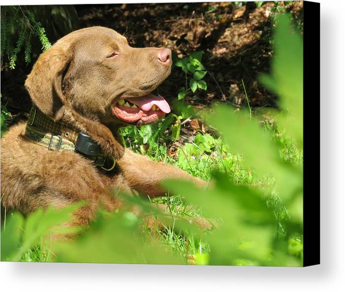 Dog Canvas Print featuring the photograph Basking In The Sun by Diane Carlson