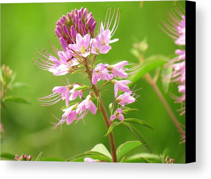 New Mexico Canvas Print featuring the photograph Beeweed . . .with Ant by Feva Fotos