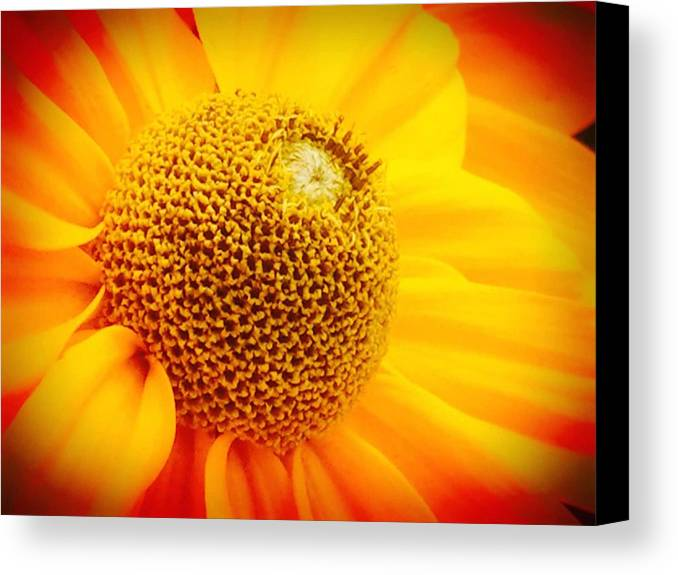 Black Canvas Print featuring the photograph Black-eyed Suzan In The Sun by Wendy Yee