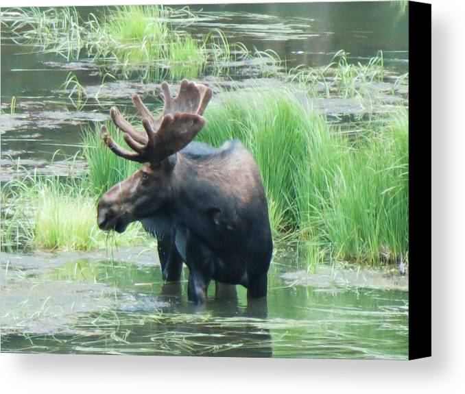 Moose Canvas Print featuring the photograph Bull Moose In The Wild by Feva Fotos