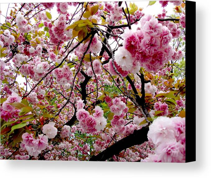 Japan Canvas Print featuring the photograph Cherry Blossom by Evan Peller