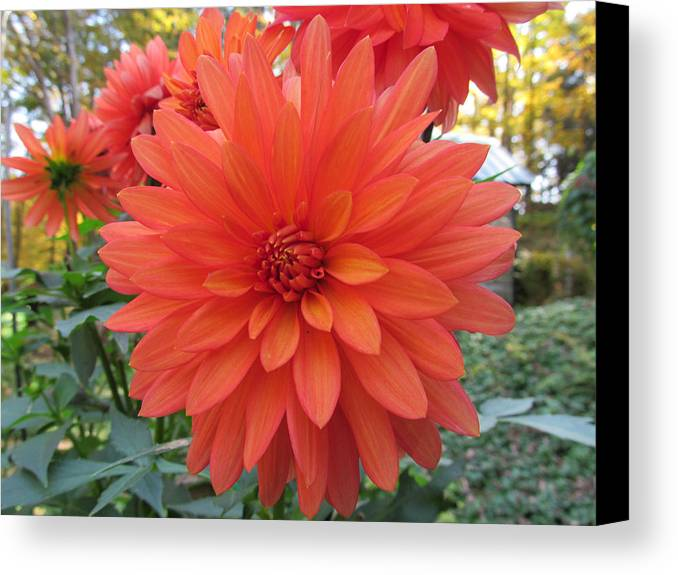 Flower Canvas Print featuring the photograph Dahlia 'melody Swing' by Robert Speziale