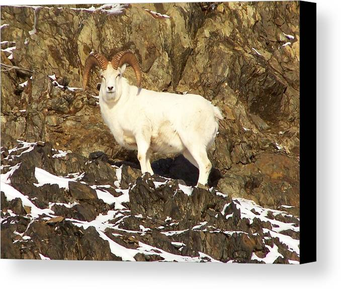 Dall Sheep Canvas Print featuring the photograph Dall Sheep Ram by Shelly Rochon