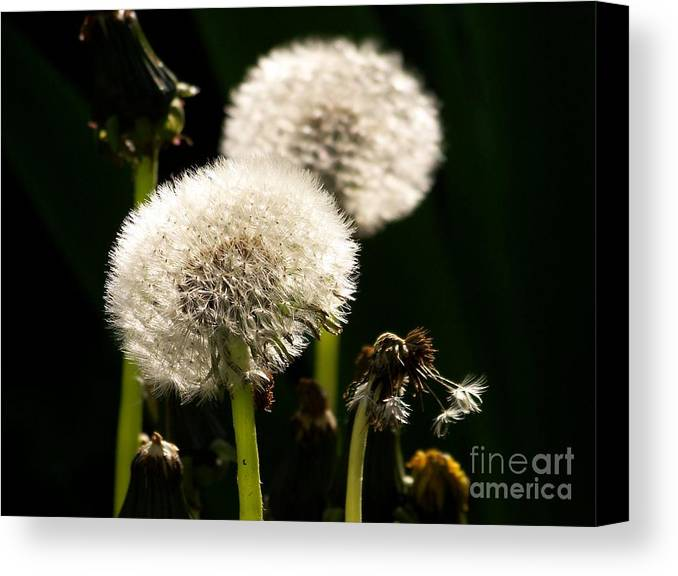 Dandelion Canvas Print featuring the photograph Dandelion by Sylvie Leandre