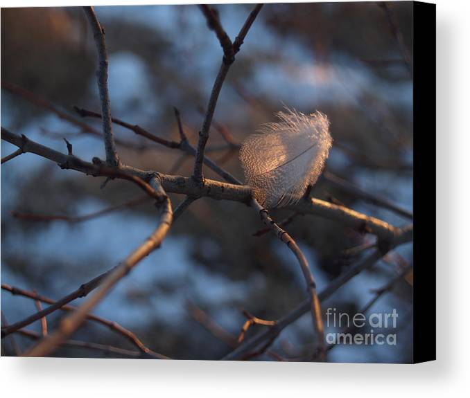 Branch Canvas Print featuring the photograph Downy Feather Backlit On Wintry Branch At Twilight by Anna Lisa Yoder