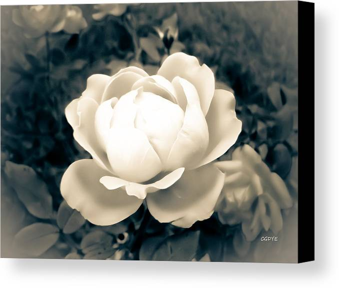 Photo Digital Photography Flower Rose Petals Enchanted Beauty Nature White Prints Posters Greeting Cards Canvas Print featuring the photograph Enchanted Rose by Connie Dye
