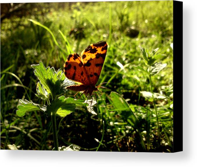Butterfly Canvas Print featuring the photograph Fairy by Lucy D