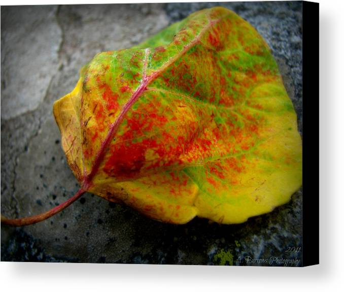 Sangre De Cristo Mountains Canvas Print featuring the photograph Fall Colors On A Downed Aspen Leaf by Aaron Burrows