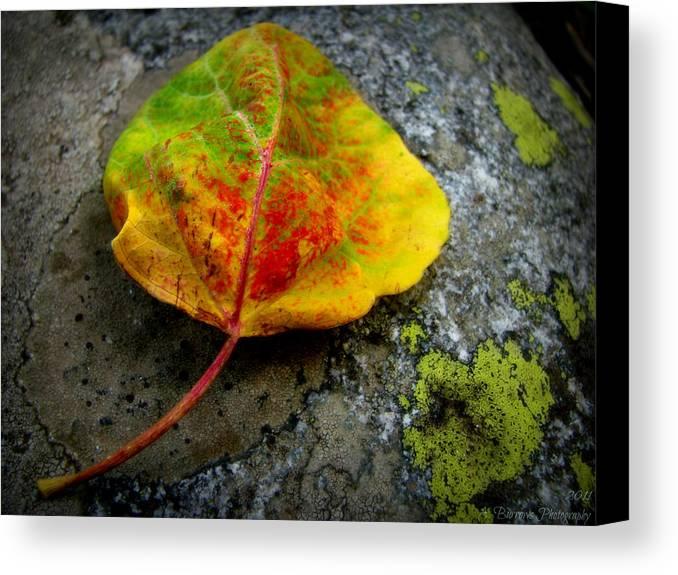 Sangre De Cristo Mountains Canvas Print featuring the photograph Fallen Autumn Aspen Leaf by Aaron Burrows