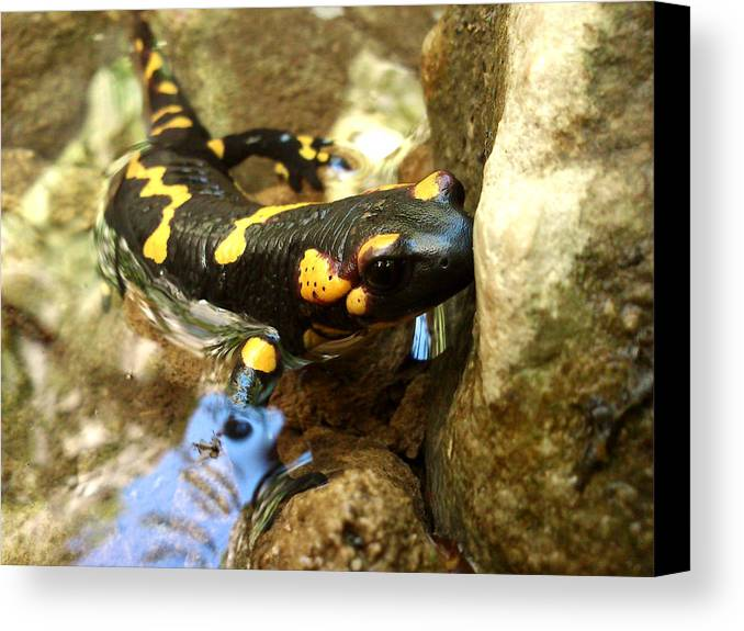 Animals Canvas Print featuring the photograph Fire Salamander by Lucy D