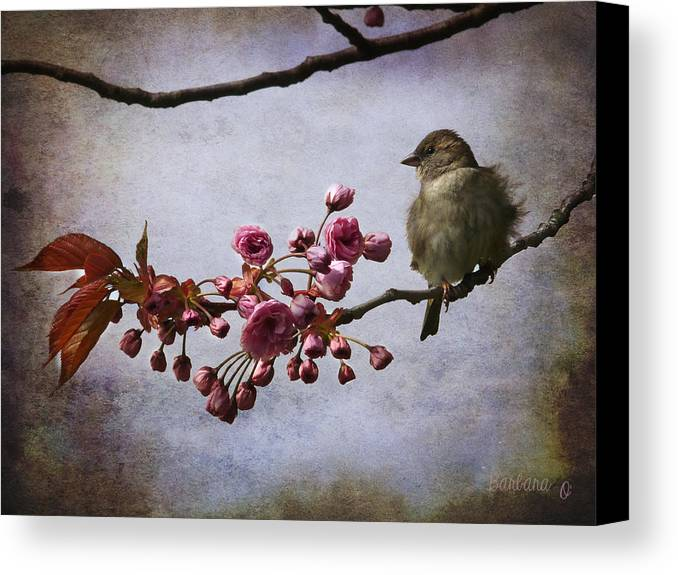 Sparrow Canvas Print featuring the photograph Fluffy Sparrow by Barbara Orenya