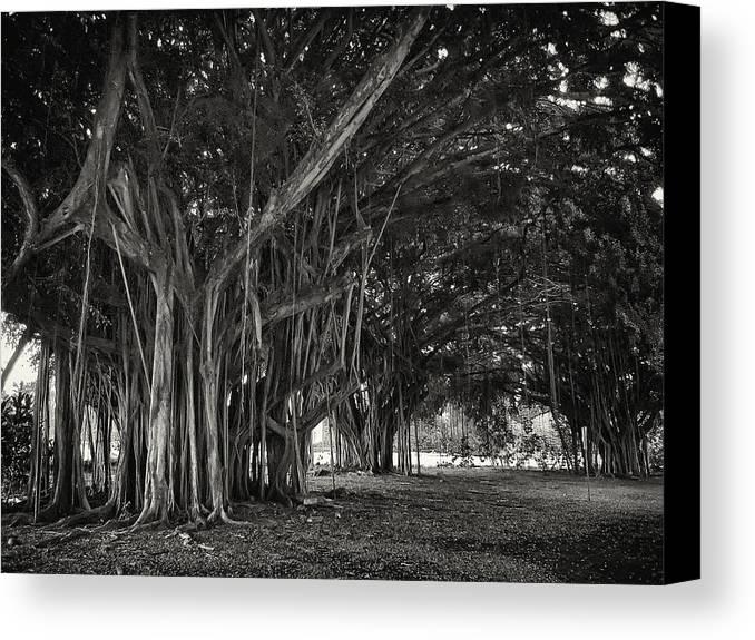 Banyan Canvas Print featuring the photograph Hawaiian Banyan Tree Root Study by Daniel Hagerman