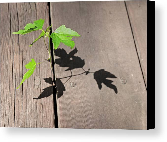 Tree Canvas Print featuring the photograph Mighty Oak Tree by Christopher McKenzie