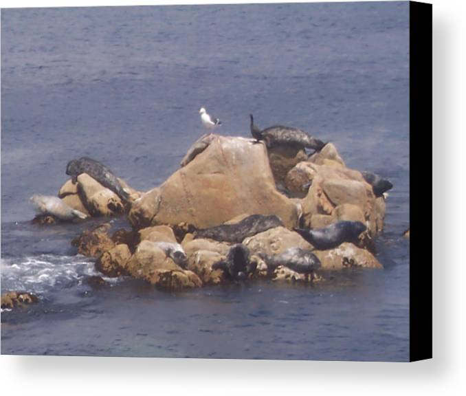 Seal Canvas Print featuring the photograph Monterey Sun Bath by Pharris Art