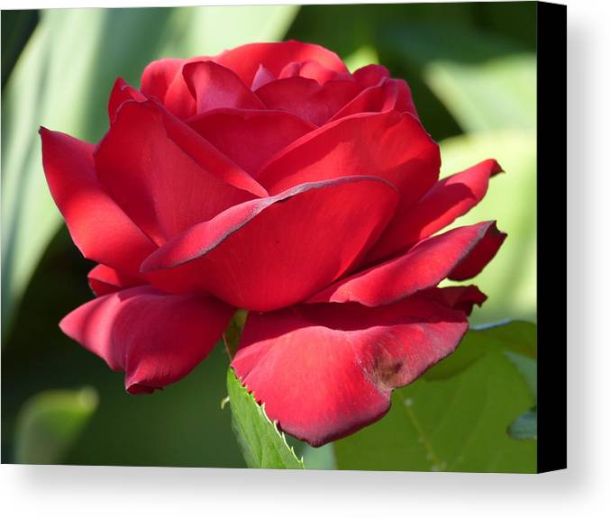 Flowers Canvas Print featuring the photograph My First Rose by Janina Suuronen