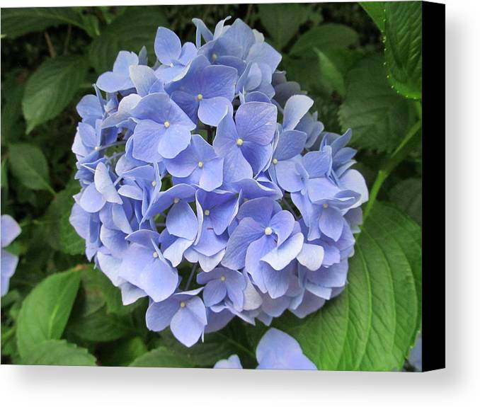 Flower Canvas Print featuring the photograph Nikko Blue Hydrangea by Robert Speziale